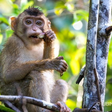 longtail macaque-李彬彬
